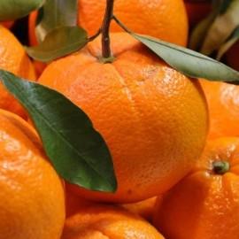 Naranjas pequeñas, idoneas maquinas exprimidoras calibres 6/7.