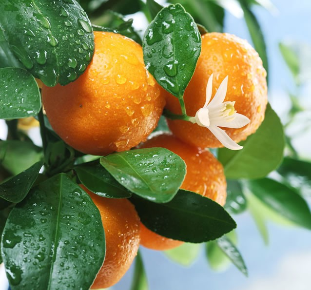 Más variedades de naranjas
